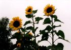 Sunflowers in our garden